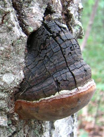 phellinus_mushroom_anchorage